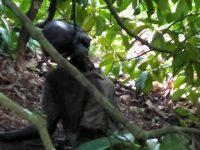Ulat Belatung Ganggu Identifikasi Mayat di Pohon Manggis