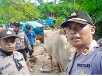 Polisi Bengkunat Jatuh Bangun Kawal Surat Suara di 4 Pekon dengan Gerobak Sapi dan Jalan Kaki