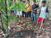 Sruduk Warga di Pemukiman Seekor Babi Hutan Ditembak Petugas